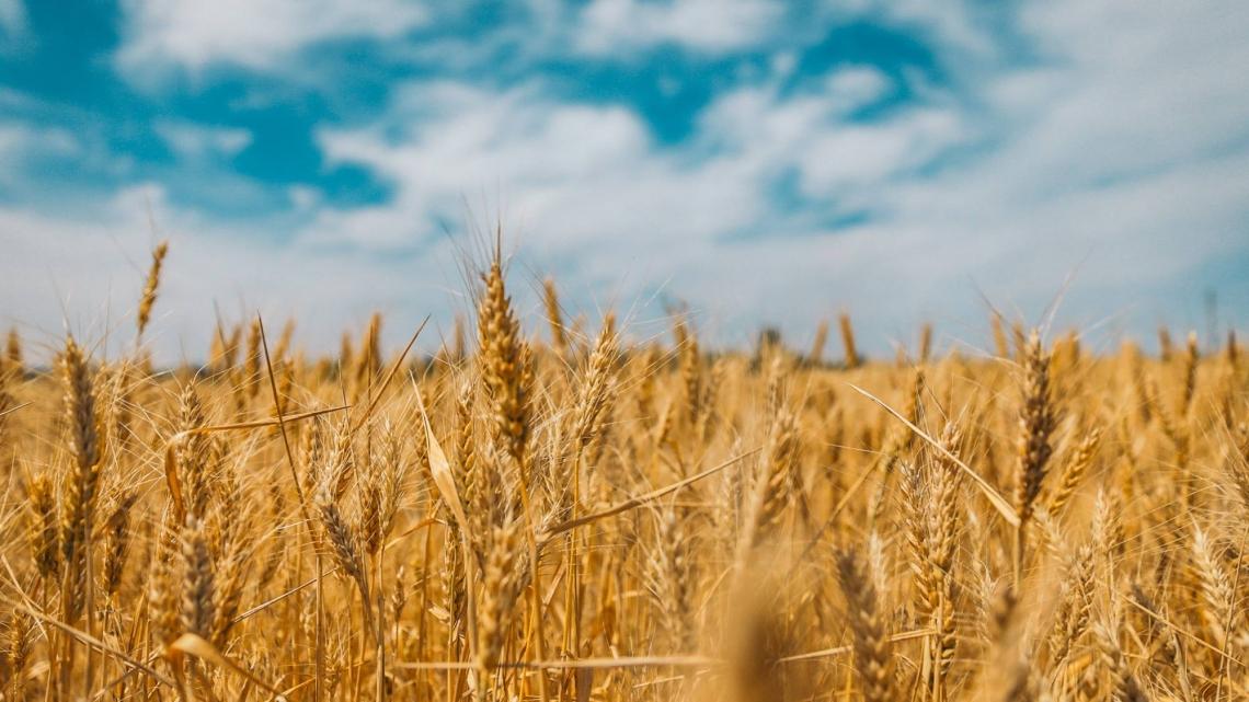 campo grano (1)