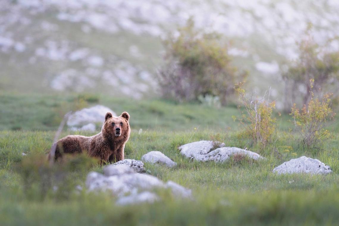 foto Orso WWF bassa